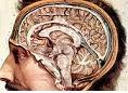 Hashimoto-έμμηνος ρύση-νευροφυτικό